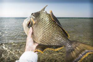 La fiebre del Triggerfish