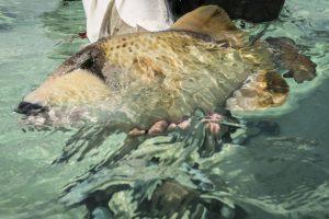 fiebre del triggerfish